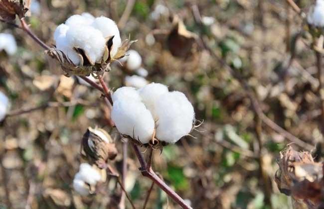 我国棉花产地分布
