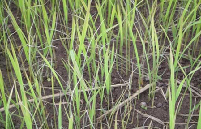 水稻叶横切结构手绘图