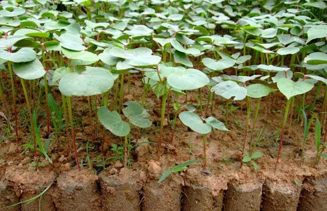 棉花种植时间是什么时候,种植技术有哪些?