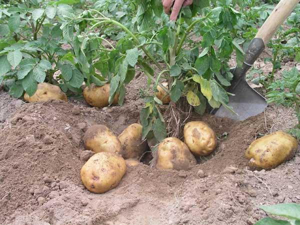 马铃薯种植施肥技术,怎么做好吃?