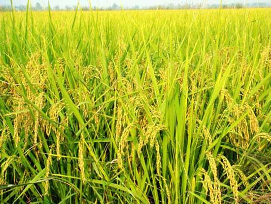 """抽穗结实期对环境的要求 在水稻抽穗结实期,营养生长基本停止,这时期为生殖生长占主要时期,一切任务是保持粒多,重的关键时期,主要在管理上要使水稻不早衰,也不贪青,不倒伏。 1、抽穗与开花。 (1)水稻抽穗。水稻幼穗分化后1~2天稻穗从剑叶叶鞘中抽出,有50%抽出,为抽穗期,有80%抽出为齐穗期。抽穗时由于低温或肥水不足,常造成稻穗不能全部抽出,生产上把这种现象称为""""包穗""""或""""包颈"""",被包住的造成疱粒或空壳,如杂交水稻抽穗时温度低于20时,会造成100%产生&"""