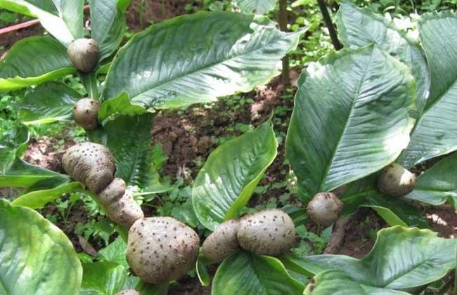 魔芋种植技术