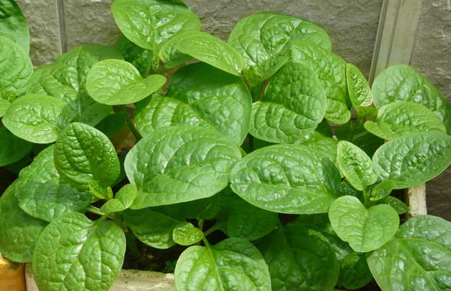 木耳菜的种植技术,怎么做好吃?
