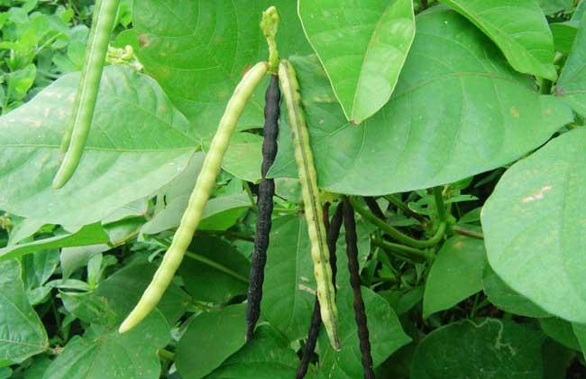 绿豆是豆科菜豆属一年生草本植物,生长周期大约60~65天,适应性广,抗逆性强,耐旱、耐瘠、耐荫蔽,生育期短,并有共生固氮、培肥土壤的能力,常作为补种、填闲和救荒的优良作物,具有极高的种植前景,下面我们就一起来看一看绿豆什么时间种植吧!