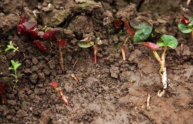 鱼腥草栽种方法