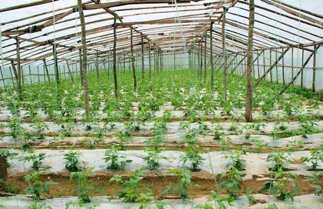 大棚蔬菜的种植前景,高产栽培技术?