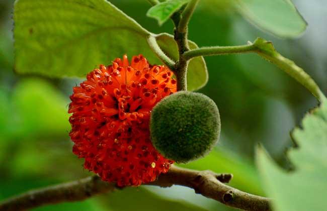 构树果实能吃吗