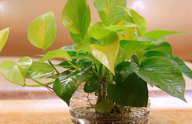 盆栽绿萝怎么养才好?养殖技术?