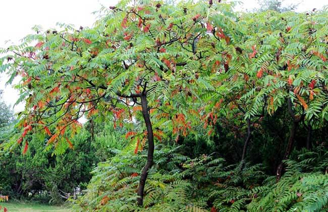 火炬樹的修剪整形 1、灌木狀:對于灌木狀火炬樹的修剪,主要以堅持樹體通透為原則,栽培養護過程中,及時將冗雜枝、干枯枝、過密枝、下垂枝疏除即可,還要及時將周圍的萌蘗苗及時剪除。 2、喬木狀 選擇長勢健壯、干性強的幼苗,將其側枝全部疏除,只保留主干。秋末對主干進行短截,翌年在剪口下選擇一個長勢健壯的新枝作主干延長枝,其余新生枝條全部疏除。