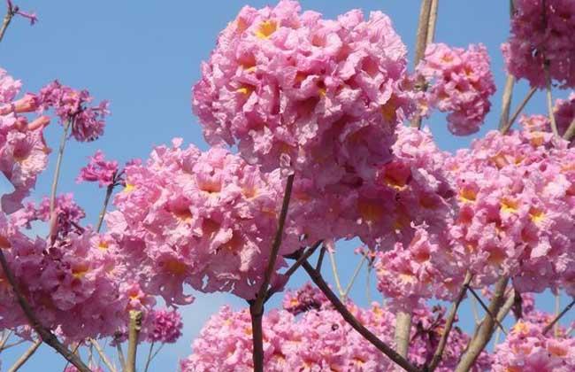 红花风铃木栽培技术?栽培方法有哪些?