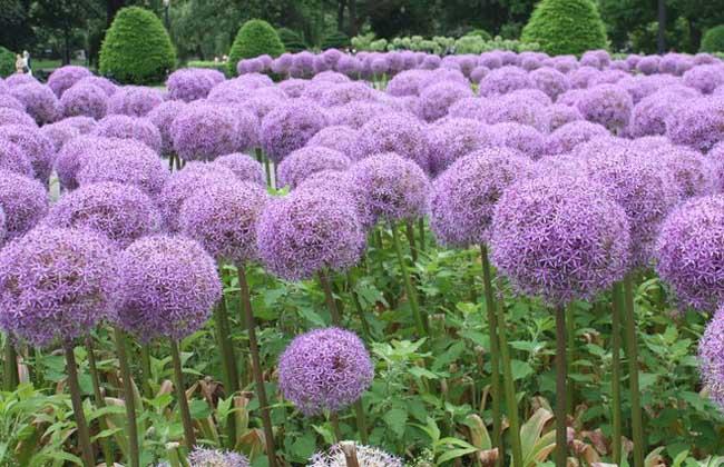 大花葱养殖方法