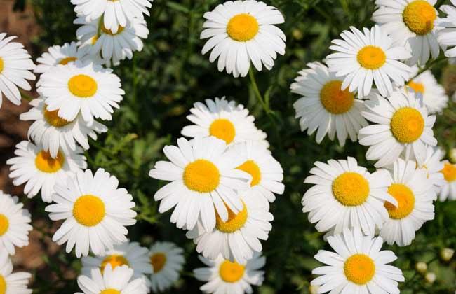 雏菊别称雏菊花、马头兰花、延命菊、春菊、太阳菊等,为菊科雏菊属多年生草本植物,原产于欧洲,早春开花,生气盎然,具有君子的风度和天真烂漫的风采,深得意大利人的喜爱,因而推举为国花,下面我们就一起来看一看雏菊花语是什么吧!