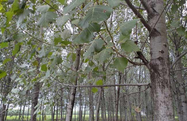 杨树能活好积年