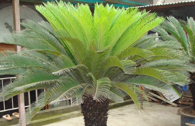 铁树叶子发黄怎么办?种植技术有哪些?图片