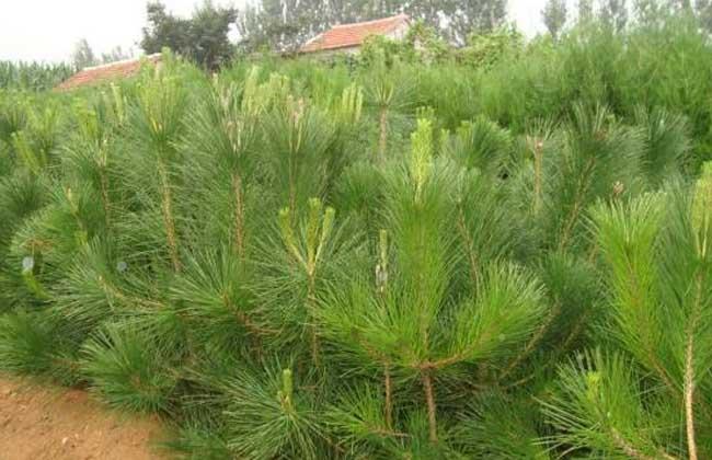 油松的栽种技术
