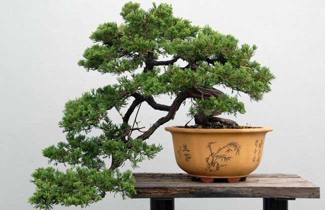 松树盆景制作过程?生长环境