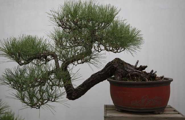 松树盆景怎么养?养殖用什么饲料?