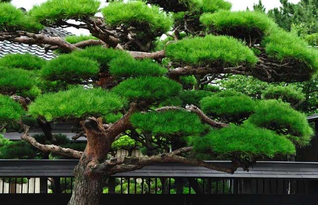 松树的特点有哪些?对环境有什么要求?