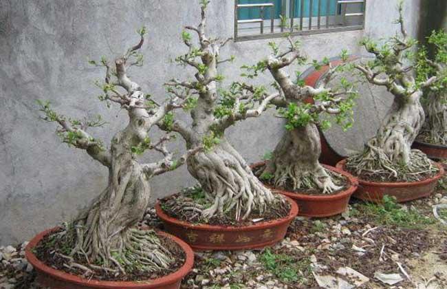 榕树盆景怎么修剪