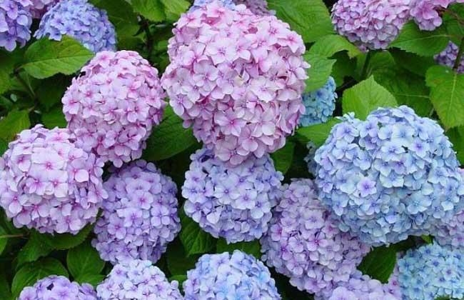 绣球花洁白丰满,大而美丽,其花色能红能蓝,令人悦目怡神,是常见的盆栽观赏花木,中国栽培绣球的时间较早,在明、清时代建造的江南园林中都栽有绣球,20世纪初建设的公园也离不开绣球的配植,现代公园和风景区都以成片栽植,形成景观,下面我们就一起来看一看绣球花的花期是什么时候吧!