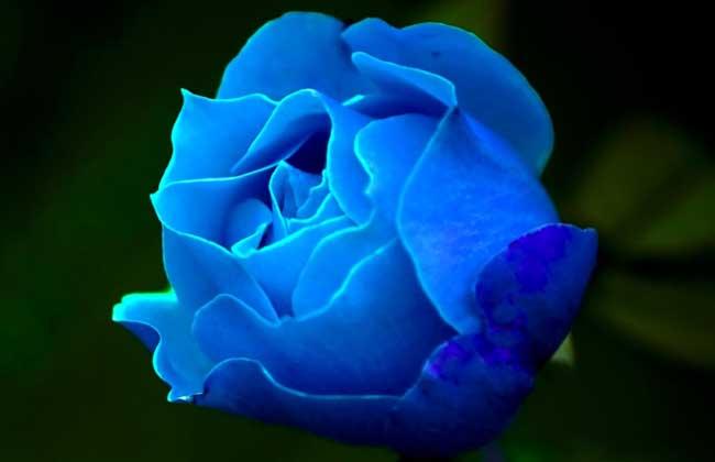 花瓣因而自然呈现蓝色,下面我们就一起来看一看蓝玫瑰的花语和不同朵