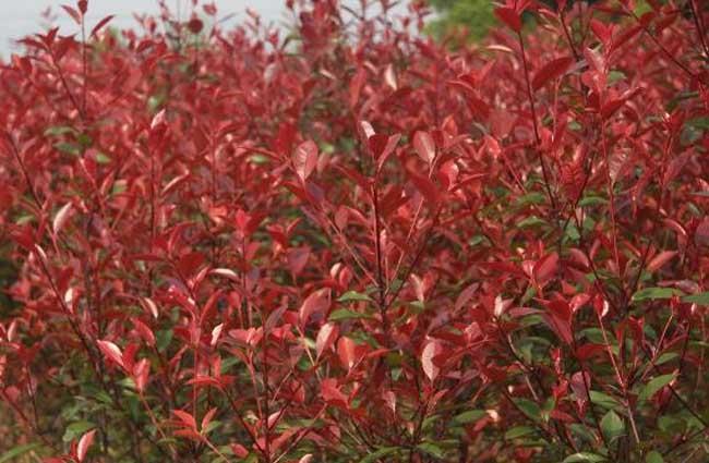 红叶石楠怎么繁殖