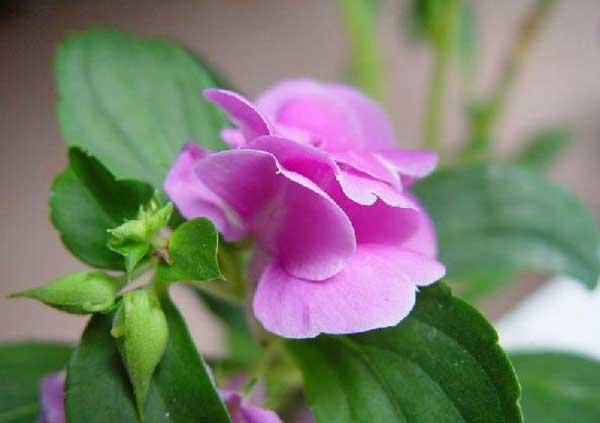 凤仙花的作用有哪些?