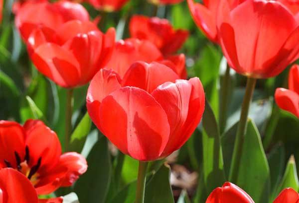 郁金香花语及代表意义