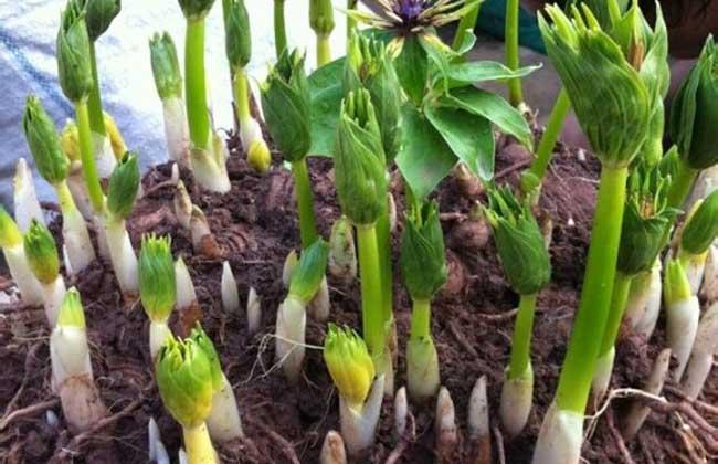 重楼种子多少一公斤_重楼种子育苗技术,最佳种植时间