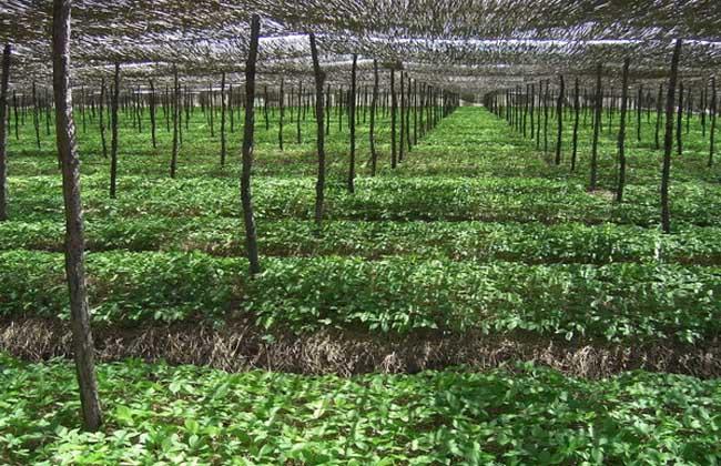 西洋参的种植前景
