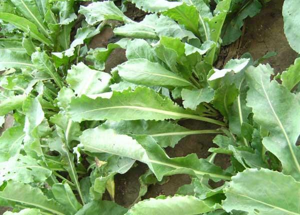 板蓝根高产栽培技术,最佳种植时