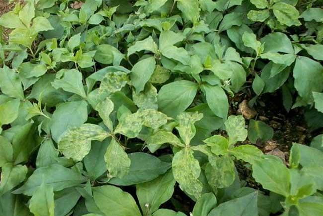 太子参的种植要点产地分布情况