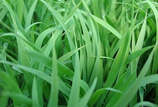 水稻育苗技术 掌握好育苗技术,是育好苗的保证。壮苗标准是:水稻秧苗要达到秧龄35—45天,主茎叶片5—7片,叶直不披、叶色绿中透黄。株高15—20厘米,有1—2个分蘖,茎基扁粗有弹性,白根多,根原基多,无黑根无病虫。 1、秧田选择 秧田要求土壤肥沃,排灌方便,无盐碱,要坚决克服利用沟边河沿、路旁和肥力较差的地方作秧田的习惯。 2、秧田施肥 秧田肥力的高低,是培育壮秧的关键。秧田地要亩施农家肥5—7方,腐熟饼肥50公斤耕翻。播种前3—