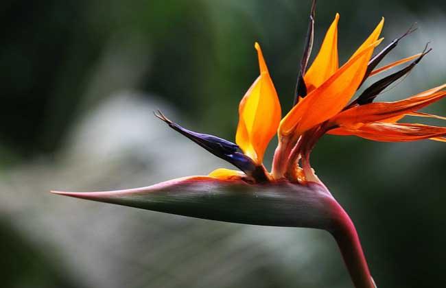 天堂鸟花别称鹤望兰,极乐鸟花等,为旅人蕉科鹤望兰属多年生草本植物