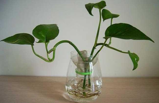 水培绿萝的养殖方法 1、首先要选好绿萝的枝茎,健康强壮并带有气生根的枝茎才是好的水培对象,这样带有气生根的枝茎剪下后放入清水中能很快适应水培环境,十天左右就能长出水生根来。注意放入水中的枝茎部分不能带有叶片,否则叶片泡在水中很容易影响水质。另外还可以选取株型较好的盆栽植株,洗净根系上的泥土,剪去多余的老根,放入清水中,也很容易成活。 2、水培刚开始的前几天要注意换水,两三天换一次与室温相同的水,等生出水生根后再一星期换一次水。等到新的叶片长出后,可以每隔十天左右添加一次营养液,也可以向叶片上喷洒一些稀释