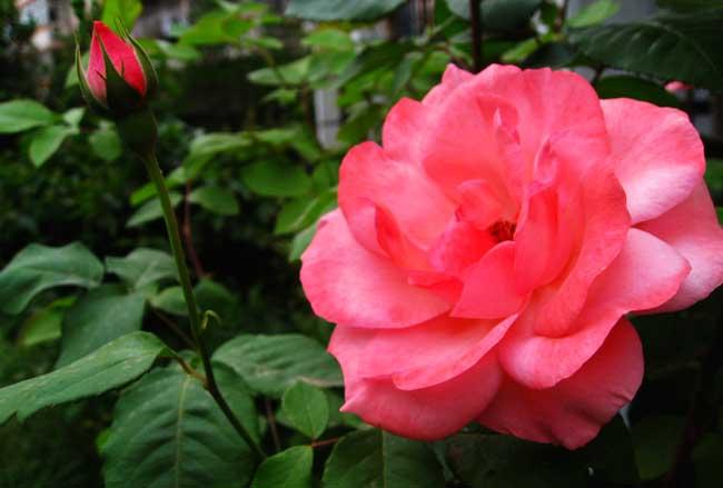 玫瑰和月季的区别