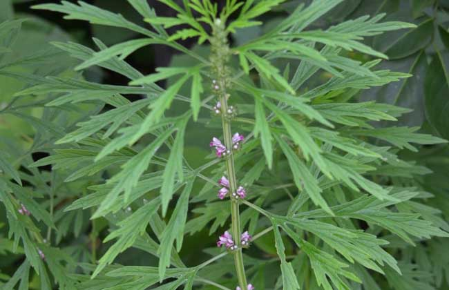 益母草种植技术