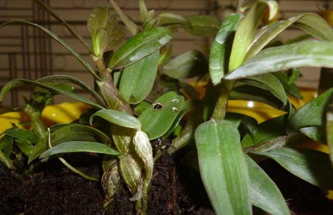铁皮石斛种植条件图片