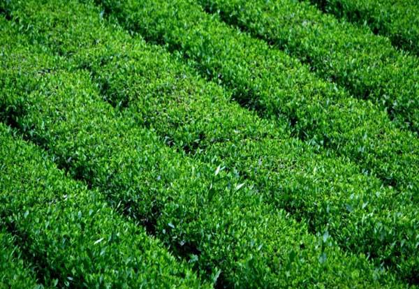中国茶业十大品牌企业