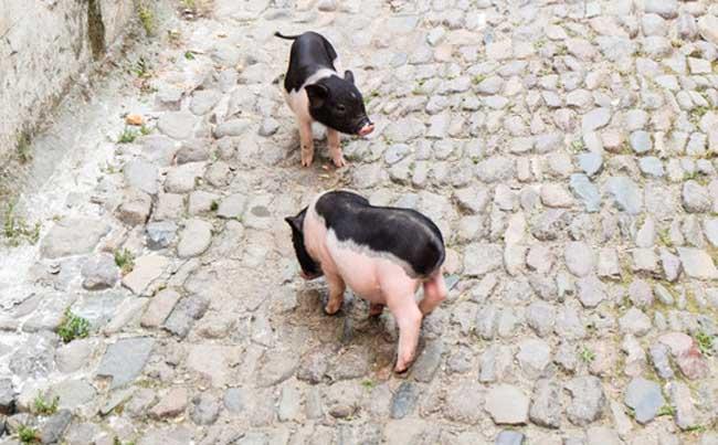 宠物猪的寿命