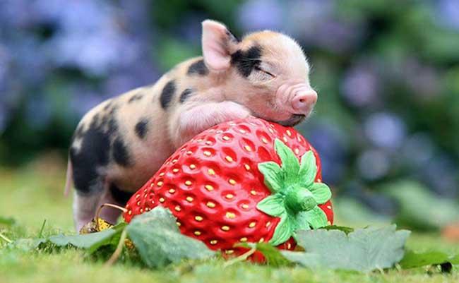 常见的宠物猪的品种及图片,养殖前景如何?