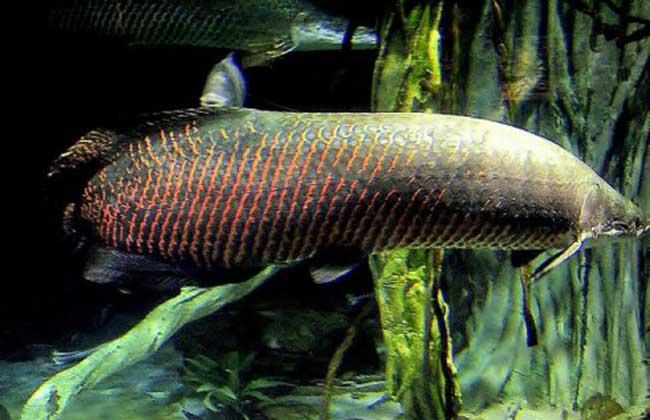 巨骨舌鱼能吃吗?
