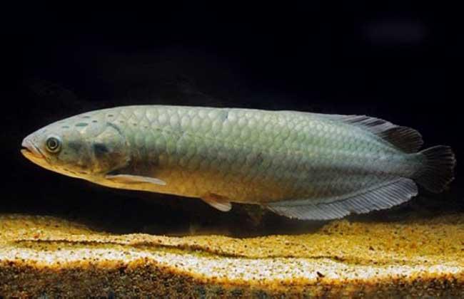 巨骨舌鱼能吃吗?_种植养殖_土地资源网