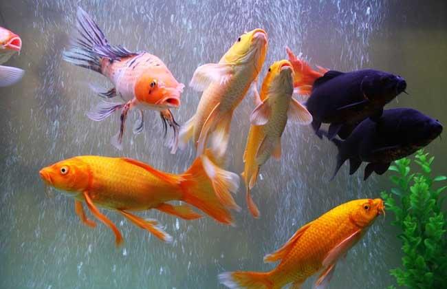 中国人喜欢鱼,从传统民俗就赋予它吉祥的象征,其中尤以锦鲤为瑞,从远古时候起丹青也好,吉祥的图腾也好,如果用鱼来表达的话,画的都是锦鲤,很多人都知道养一缸生气活力的锦鲤,对风水改善有颇佳的效果,下面我们就一起来看一看养锦鲤鱼的风水有哪些吧!