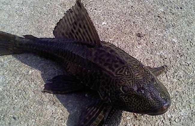 清道夫饲养品种 1、普通清道夫:普通清道夫还叫国王异型,也可以说吸口鲶,原产地是南美洲巴拉圭,人们饲养清道夫用来清除鱼缸底部鱼的粪便、残留饲料等污垢,由于清道夫鱼是非常杂食性的水族类生物,不管是水藻,还是死鱼尸体、青苔、鱼虫,只要是可以吃的它都来者不拒,统统吃掉。 2、观赏清道夫:观赏清道夫其实包括很多,有豹纹清道夫、国王异型的变异品种红清道夫、金清道夫等。豹纹清道夫主要是指身上有着豹纹图案的清道夫,和普通清道夫一样,都非常的容易饲养,而且身体的纹路好看,但是不会像普通的清道夫那样会吸鱼,更适合家庭养殖