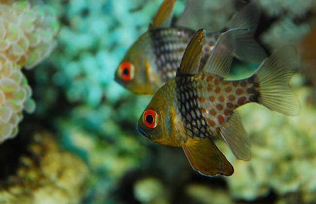 玫瑰鱼分布于印度洋至太平洋珊瑚礁海域,肉食性,可喂以动物性饵料