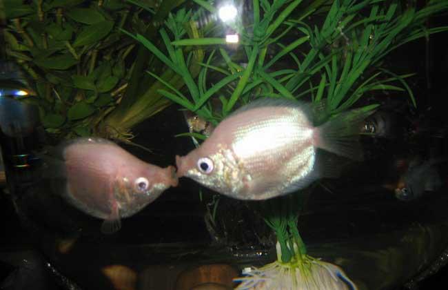 接吻鱼怎么分公母?