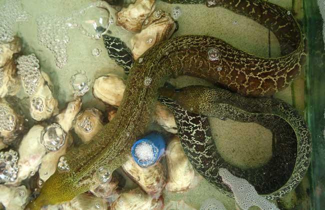 河鳗养殖技术_鳗鱼的养殖周期_养殖鳗鱼利润怎么样