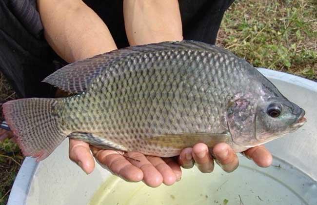 罗非鱼水深_罗非鱼生活水层_罗非鱼喜欢肥水吗