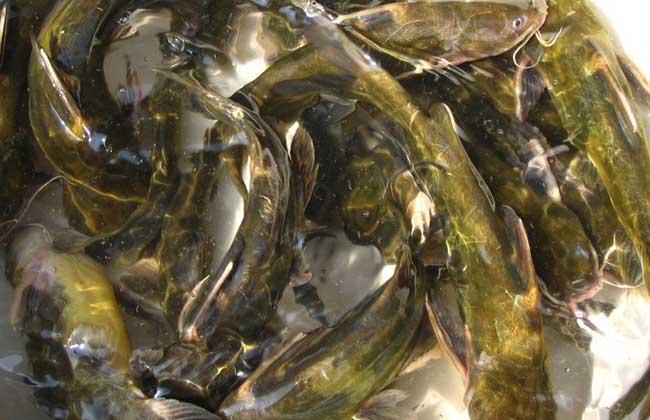 黄颡鱼常见疾病与防治_黄颡鱼一点红_黄颡鱼爆头病怎么治